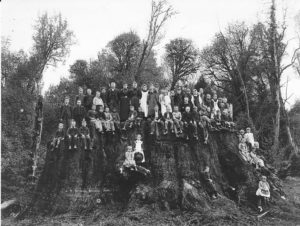 The Fieldbrook tree was cut down in 1890, but if it were alive today, it would likely be over 400 feet tall and over 3500 years old. It would be the largest tree by height and volume on the planet. one of the five saplings planted in Jefferson Park is a tree with the same genetics as this giant.